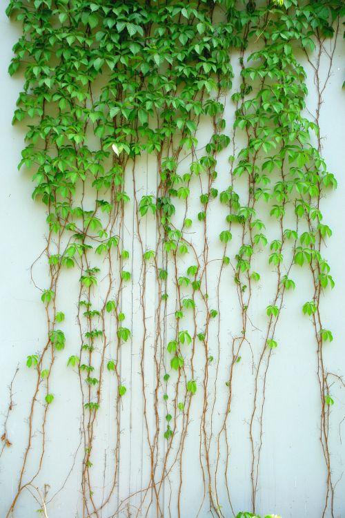 ivy vynmedis,augalas,žalias,lapai,žalias lapas,alpinizmas
