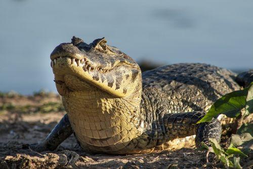 aligatorius,jacare,pantanalinis,kelionė,šriftas šrifto šriftas šrifto šriftas brasil šriftas šriftas kraštovaizdžio šrifto Šrifto šriftų šriftų šriftas egzotiškas šrifto šriftas ,Royalty Free