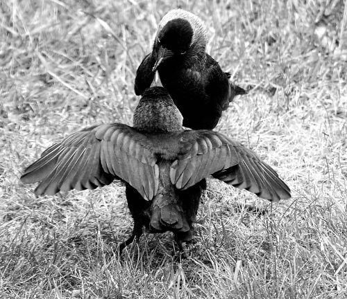 šikšnosparnis,jauniems gyvūnams šerti,juoda balta,badas,maistas,juoda ir balta,valgyti,paukštis,gamta,plunksna,pavasario suknelė,sąskaitą,alkanas,juoda,saldus,maistas,maitinti,varnas paukštis,fotografija,gyvūnų pasaulis