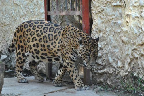 jaguar,zoologijos sodas,gyvūnas