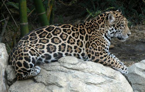 jaguar,dėmės,džiunglės,laukiniai,gyvūnas,modelis,kailis,gamta,laukinė gamta,tekstūra,pastebėtas