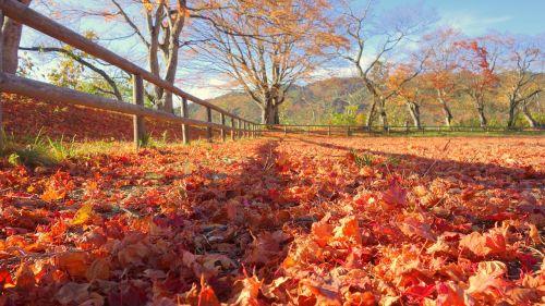 Japonija,ruduo,rudens lapai,Japonijos kritimas,natūralus,kraštovaizdis,augalas,klevai,lauke,geltona,arboretum,šviesa,saulė,nukritę lapai,lapai,lapija,negyvi lapai