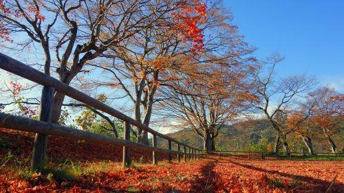 Japonija,ruduo,rudens lapai,Japonijos kritimas,natūralus,kraštovaizdis,augalas,klevai,lauke,geltona,arboretum,lapai,šviesa,saulė,nukritę lapai,lapai,spalvinga,lapija,negyvi lapai