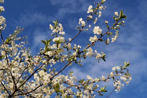 japanese,vyšnia,japonų vyšnių žiedai,prunus serrulata,rožių šiltnamius,gėlės,medis