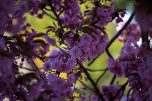 japonų vyšnios,prunus serrulata,medis,japonų žydinčių vyšnių,pavasaris,rožinis,žiedas,žydėti,gėlės