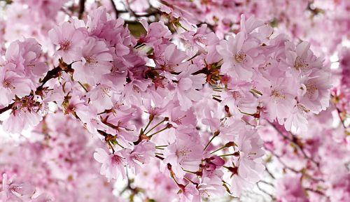 japonų vyšnios,rožinis,medis,prunus serrulata,pavasaris