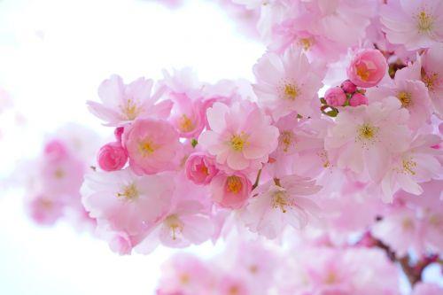 japonų vyšnios,gėlės,pavasaris,japonų žydinčių vyšnių,ornamentinis vyšnia,japonų vyšnios,vyšnių žiedas,žydėjimo laikas,medis,rožinis,spalvinga,spalva,filialas,budas,lenz