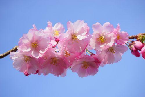 japonų vyšnios,gėlės,japonų žydinčių vyšnių,ornamentinis vyšnia,japonų vyšnios,vyšnių žiedas,žydėjimo laikas,medis,rožinis,spalvinga,spalva,pavasaris,filialas,budas,lenz