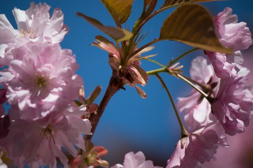 japonų žydinčių vyšnių,prunus serrulata,rožių šiltnamius,žiedas,žydėti,pavasaris,gėlės,japonų vyšnių žiedai,medis,žydėti,rožinis,žiedas,blütenmeer,vyšnių žiedas,japonų vyšnios