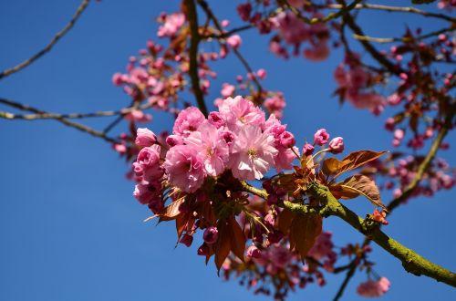 japonų žydinčių vyšnių,vyšnių žiedų,medis,žiedas,žydėti,japonų vyšnios,japonų vyšnios,ornamentinis vyšnia,pavasaris,rožinis,budas,žiedas,gėlės,pavasario pabudimas,lenz,gamta,japonų vyšnių žiedai