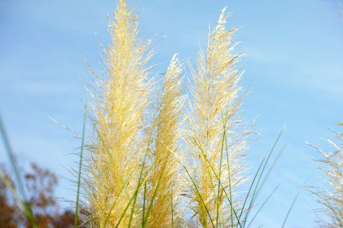 japonų sidabrinė žolė,pampų žolė,auksinis,ruduo,augalas,dangus