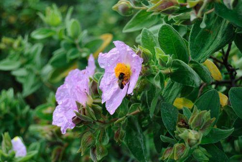 jara,vabzdžiai,bičių,gėlė,gamta,rosa,augalas,flora,žiedadulkės,pistil,gėlės,žydėjimas,augalai,gražus