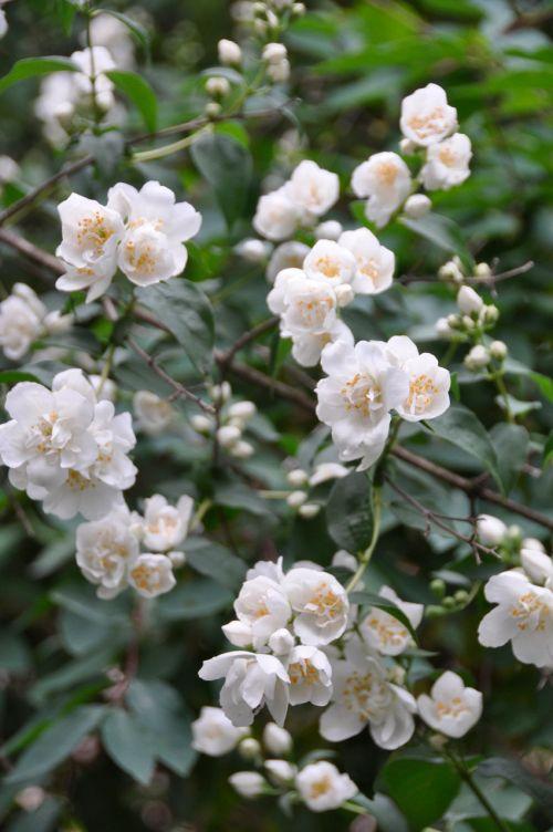 gėlė, jazminas, krūmas, krūmai, augalai, kvapas, jazminas