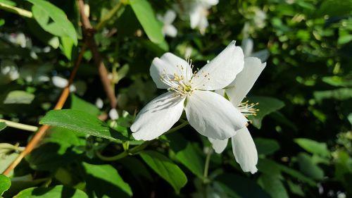 jazminas,augalas,gėlė,jazminų žiedai,jasminum,vasaros jazminas,balta gėlė,vaistinis augalas,dekoratyvinis krūmas,žiedas,žydėti,balta,gamta,flora,sodas