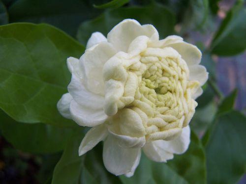 jazminas,sambac,Didysis Toskanos kunigaikštis,aromatizuota gėlė,arabų jazminas,balti žiedlapiai