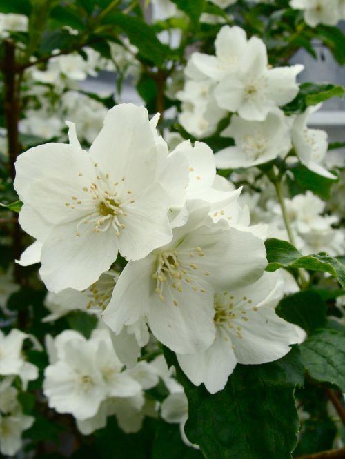 jazminas,wildflower,naktinis kvapus jazminas,gėlė,gėlių,augalas,natūralus,žiedas,žydėti,žiedlapis,botanikos,ekologiškas,stiebas,botanika,žolė,Žemdirbystė,lauke,aplinka,lapai,sodininkystė,augmenija,balta