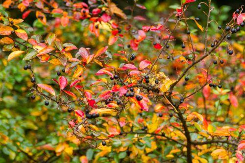 ruduo, kraštovaizdis, lapai, vaisiai, gamta, krūmai, filialai, spalvos & nbsp, ruduo, fonas, parkas, sodas, raudona, geltona, žalias, ruduo