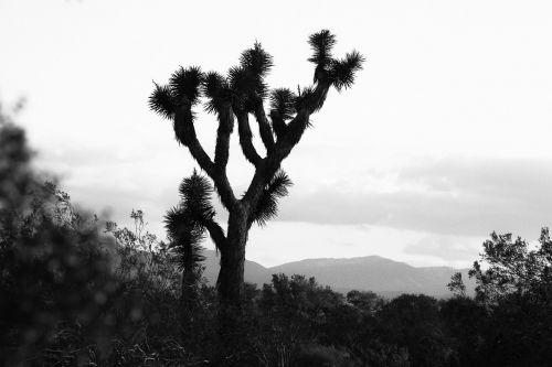 Jeshua Medis,  Kalifornijos Dykuma,  Dykuma,  Kalifornija,  Mojave,  Šiluma,  Gamta,  Kraštovaizdis,  Juoda Ir Balta,  Peizažas,  Dykuma,  Kelionė,  Sausas,  Vaizdingas,  Lauke,  Medis,  Aplinka,  Žemė,  Slėnis,  Kalnas,  Horizontas