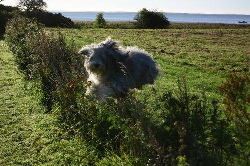 šokinėti,šuo,apsidraudimas,gyvūnas