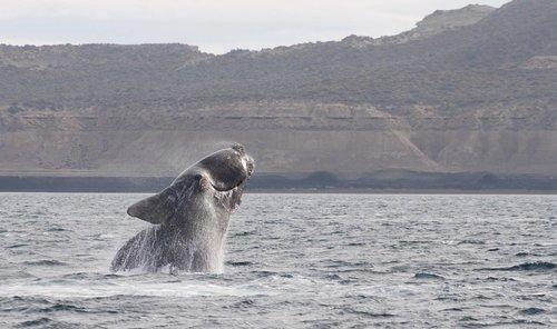 šokinėti, banginis, Pietų teisę banginis, Vandens telkinys, jūra, vandenynas, pobūdį, CETACEA, Costa