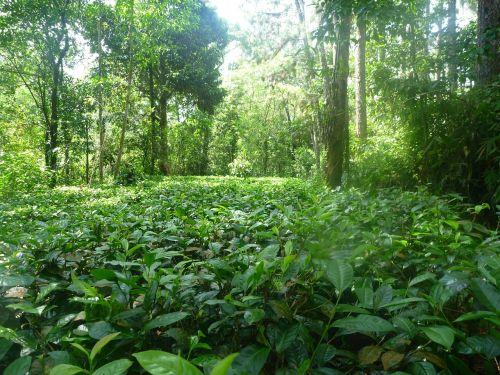 džiunglės,gamta,arbata,ceilonas,atogrąžų miškai