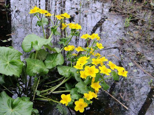 kaczeniec,pelkės princas,pelkės,augalas,žalias,gėlės,pieva,podmokła,flora