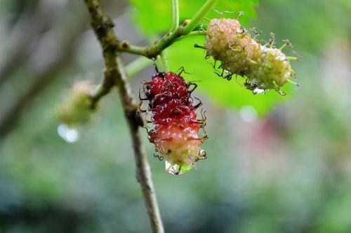 kamblimas,uogos,uogos,gamta,vandens lašai,šlapias,lietingą,augalas,Šri Lanka,ceilonas,Mawanella