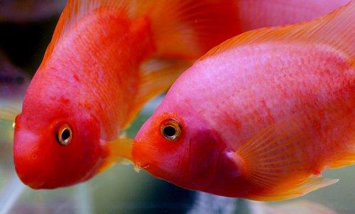 kančík, ciklidinių, akvariumas, žuvis, gėlo vandens, Tropical, Didelės lūpos, lūpos