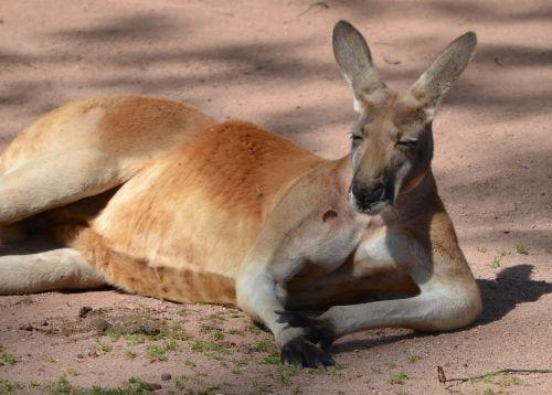 Kengūra,bosas,zoologijos sodas,tingus,gyvūnas,poilsis,lazing aplink,atsipalaiduoti