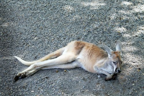 Kengūra, tingus, miega, miegoti, pavargęs, šokinėti, šokinėja, pūkuotas, gyvūnas, zoologijos sodas, ūkis, kengūra - tingus