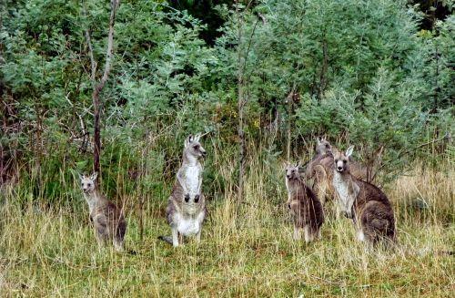 kengūros,bushland,australia,gyvūnai