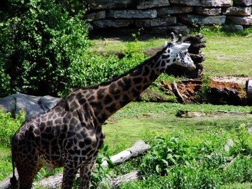 Kanzasas & nbsp, miestas, zoologijos sodas, gamta, gyvūnai, žirafos, žinduoliai, vanduo, upės, medžiai, laukinė gamta, fotografija, Kansas City zoologijos sodas žirafas
