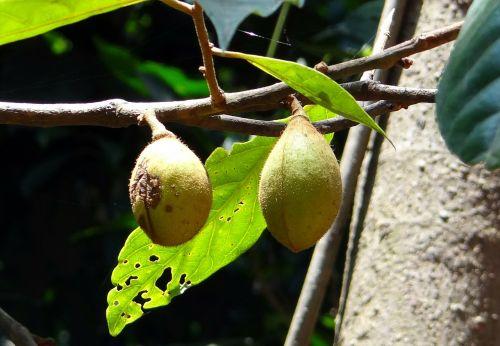 Kathalekan pelkių riešutų,medis,kritiškai nykstantis,hedagalu,semecarpus kathalekanensis,Anacardiaceae,Vakarų gatas,Indija