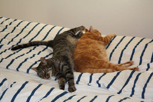 kattesøvn,katė,atsitiktinis