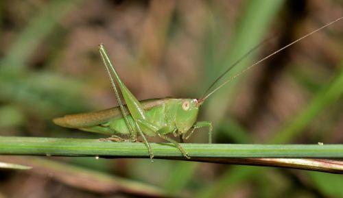 katydid,pieva katydid,žiogas,vabzdys,žalias,žalias vabzdys,padaras,gyvūnas,bunkeris,sparnuotas vabzdys,skraidantis vabzdys,kenkėjas,gamta,vabzdžiai,antenos,Iš arti,makro,biologija,nariuotakojų,entomologija,orchelimum