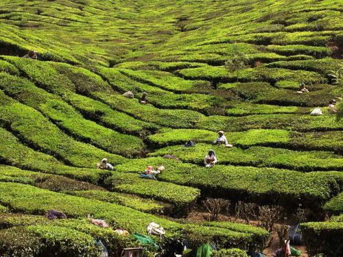 kerala,Indija,arbatos augintojai