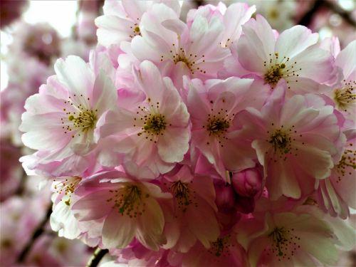 migdolas & nbsp, žiedas, vyšnia ir žiedai, japonų & nbsp, dekoratyviniai, žiedas, medis, rožinis, dekoratyvinis, vyšnių žiedas