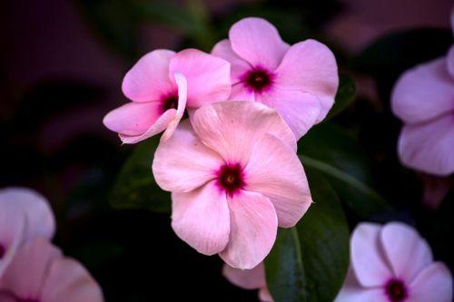 bučinys dažytas,gėlė,gamta,sodas,gėlės,žiedlapiai,augalas,žalias,apdaila,pavasaris,Alyva,eglės,alyvinė gėlė,trapi,dekoratyvinis augalas,botanistas,pavasario gėlės,violets,purpurinė gėlė,violetinė,mini gėlė