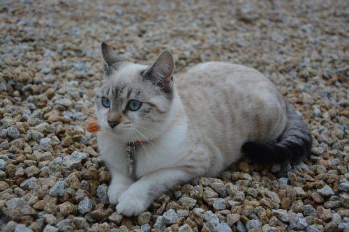 kačiukas,katė,Moteris,kačių akys,mėlynos akys prašo žemės,pailginti,ramus vaizdas,šviežias,naminis gyvūnas,mielas,kačių,gyvūnas