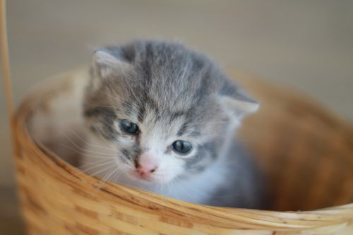 kačiukas,pilka kačiukas,kačiukas,kačiukas krepšelyje,mielas,katė,jaunas,pilka,kailis,vidaus,kačių,purus,mažas,kūdikis,gyvūnas,linksma,žaismingas,akis,uodega,augintiniai,Draugystė,smalsumas,linksmas,ūsas
