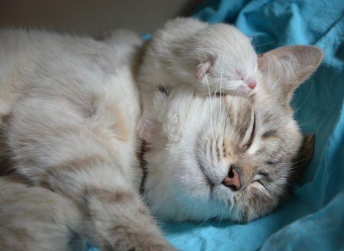kačiukas su mama,pussy,katė,kūdikio kačiukas,naminis gyvūnas,kačiukas,mielas kačiukas,kačių