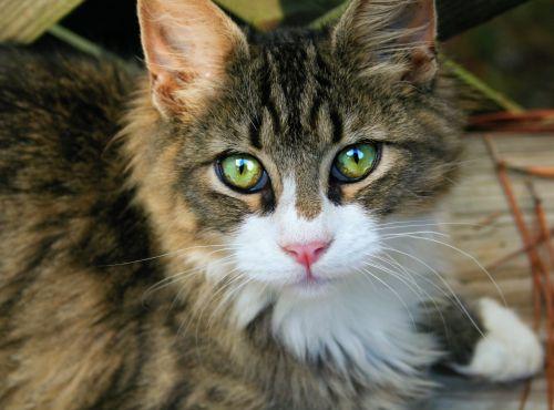 katė, kačiukas, kailis, akys, gyvūnas, ūsai, nosis, gražus, kačiukas kačiukas