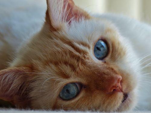 katė, kačiukas, kačių, liepsna, raudona, Siamo, mėlynos & nbsp, akys, pūkuotas, minkštas, kačiukas kačiukas