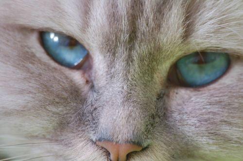 katė, kačiukas, kačių, veidas, pūkuotas, ūsai, nosis, viešasis & nbsp, domenas, tapetai, fonas, akys, mėlynas, galva, mielas, vidaus, naminis gyvūnėlis, portretas, pussycat, kačiukas katytė, kačiukas, kačiukas uždaryti