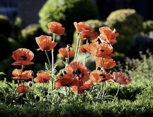 klatschmohn,žiedas,žydėti,aguona,raudona,aguonos gėlė,gamta,gėlė,raudona gėlė,raudona aguona,aguonų kapsulė,sodas,mohngewaechs,vasara,didžioji gėlė,augalas,Uždaryti