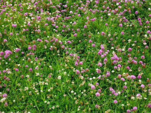 klee,dobilų pieva,pieva,laimingas dobilas,žalias,raudonieji dobilai,žvilgsniai,žolė,pašariniai augalai,žiedas,žydėti,šlapias,aštraus gėlė,laukinė gėlė,dobilų gėlė,augalas,laimingas žavesys,keturių lapų dobilų,vasara,žalias dobilas,sėkmė,dobilas