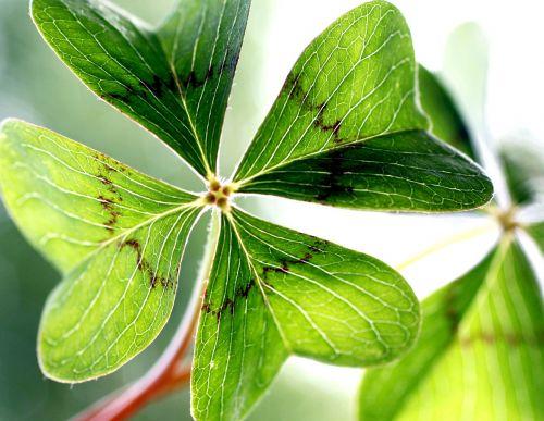 klee,laimingas dobilas,sodas,žvilgsniai,žalias,keturių lapų dobilų,augalas,vierblättrig,palankūs simboliai,laukinė gėlė,dobilų gėlė,lapai,dobilas,gamta,simbolis,laimingas žavesys,sėkmė