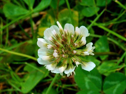 klee,dobilų gėlė,aštraus gėlė,gamta,raudonieji dobilai,pieva,žole gėlė,Uždaryti,pašariniai augalai,laukinė gėlė,laimingas dobilas,mažos laukinės gėlės