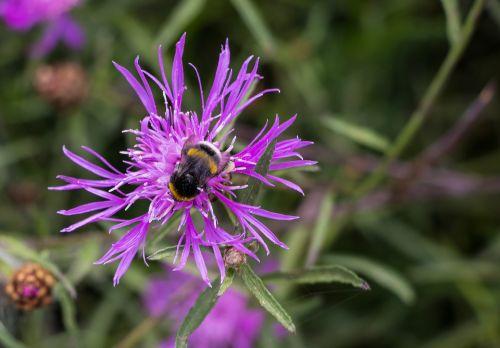 klee,Hummel,gamta,vabzdys,žiedas,žydėti,raudonieji dobilai,Uždaryti,acker hummel,dobilų gėlė
