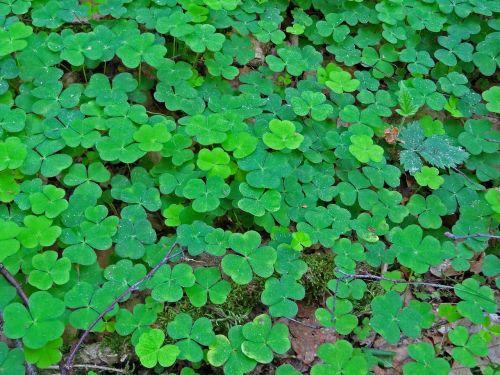 klee,rūgštynė,laimingas dobilas,sėkmė,miškas,lapai,skubėti,dobilo kilimas,gamta,miško paklotė